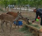 Konya Şeker ormanlarında büyüyen ağaçlar sincaplar ve arılardan sonra kızıl geyiklerin de yuvası.