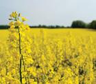 Alternatif ürün olarak ekilen yağlık kanola bitkisinden tam verim alındı.